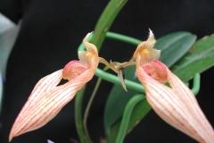 Bulb. ananderae
