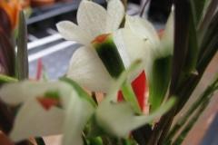 Den. vexillarius white