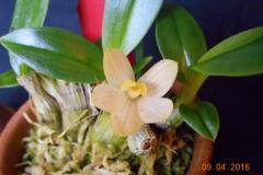 Den. laevifolium