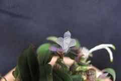 Den. leucocyanum
