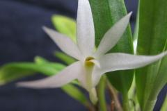 Den. pentapterum