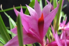 Den. violaceum
