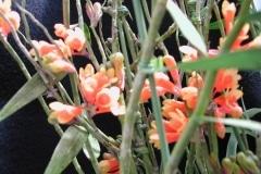 Den. wentianum