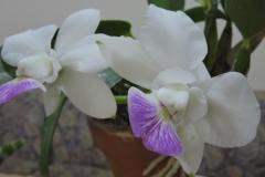 Walkeriana fmasemi-alba