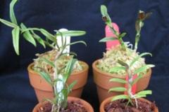 SUGOI-NE植えと水苔植えの比較