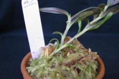 水苔の山盛り上げ植えは2号鉢で