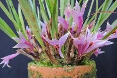 den.violaceum02