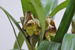 Polystachya guleata (清水さん株)