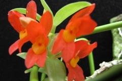 Fernandezia sp.