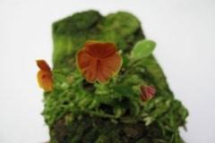Lepanthes teripogoniflora